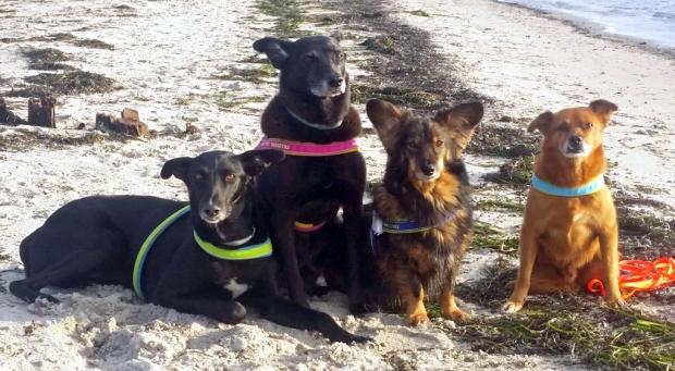 Foto: 4 Hunde sitzen am Ostseestrand